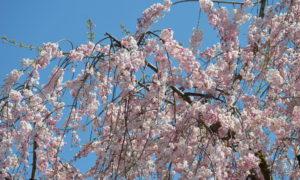 Japanes cherry blossom [shidare chrry]